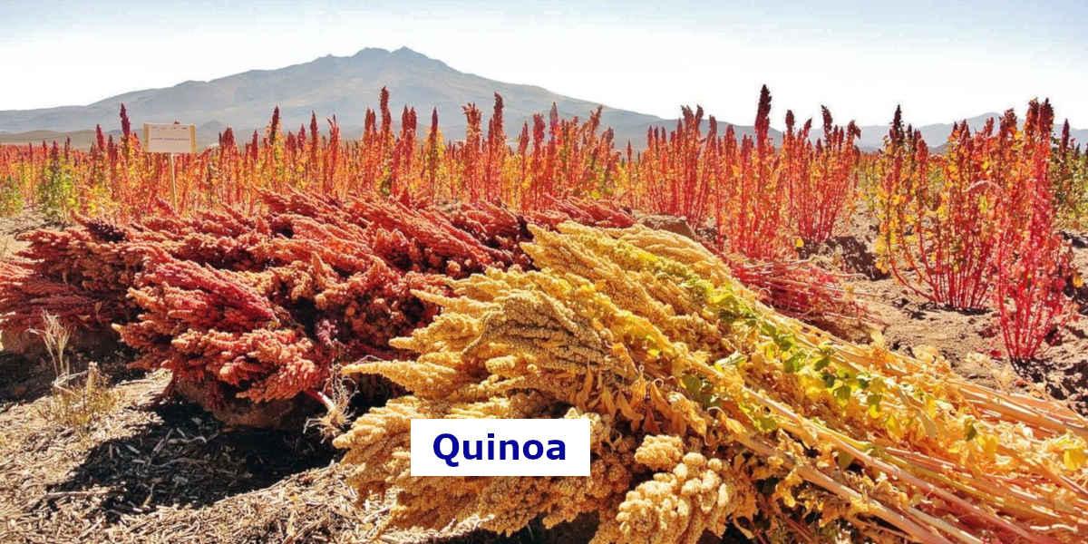 Toto pole quinoa obsahuje množství hořčíku v potravě